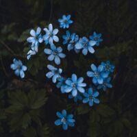 Blå blomster om våren, fotokunst veggbilde / plakat av Tor Arne Hotvedt