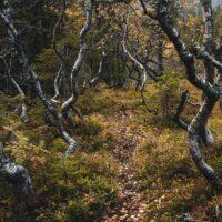 Kroketre trær og høstfarger på fjellet , fotokunst veggbilde / plakat av Tor Arne Hotvedt