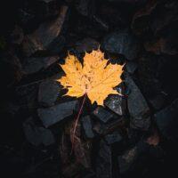 Et gult lønneblad på mørke steiner, fotokunst veggbilde / plakat av Tor Arne Hotvedt
