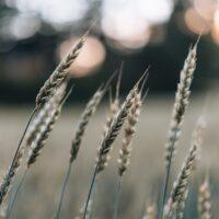 Svaiende korn i vinden, fotokunst veggbilde / plakat av Tor Arne Hotvedt