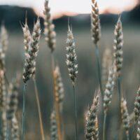 Detaljbilde av korn i solnedgang, fotokunst veggbilde / plakat av Tor Arne Hotvedt