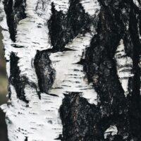 Detaljebilde av et bjørketre, fotokunst veggbilde / plakat av Tor Arne Hotvedt