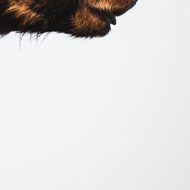 Highland cattle, eller høylandsfe som den heter på norsk, fotokunst veggbilde / plakat av Tor Arne Hotvedt