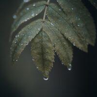 Vanndråper på grønne blader, fotokunst veggbilde / plakat av Tor Arne Hotvedt