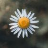 Makrobilde av en prestekrage ovenfra, fotokunst veggbilde / plakat av Tor Arne Hotvedt
