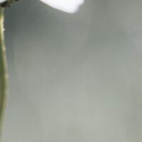 Makrobilde av en humle på en prestekrage, fotokunst veggbilde / plakat av Tor Arne Hotvedt