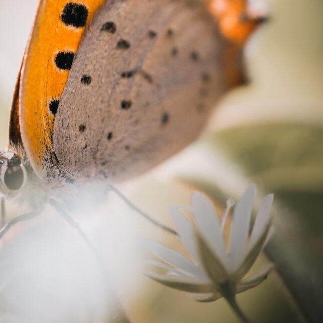 Makrobilde av sommerfuglen Ildgullvinge, fotokunst veggbilde / plakat av Tor Arne Hotvedt