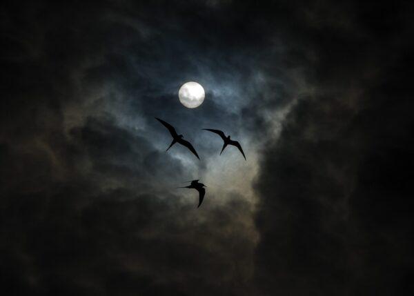 Mørke fugler, fotokunst veggbilde / plakat av Terje Kolaas