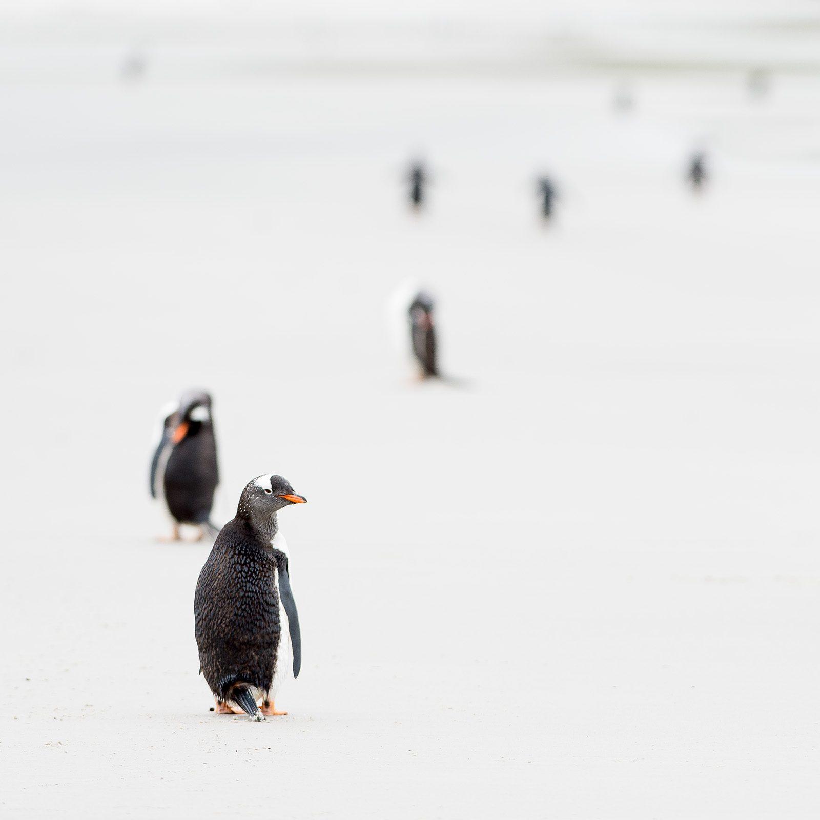 Bøylepingviner av Terje Kolaas