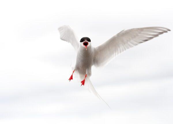 Angry bird 1, fotokunst veggbilde / plakat av Terje Kolaas