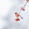 Julefuglen dompap, fotokunst veggbilde / plakat av Terje Kolaas