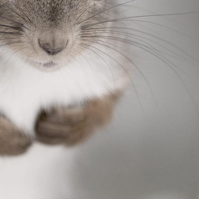 Portrett av ekorn, fotokunst veggbilde / plakat av Terje Kolaas