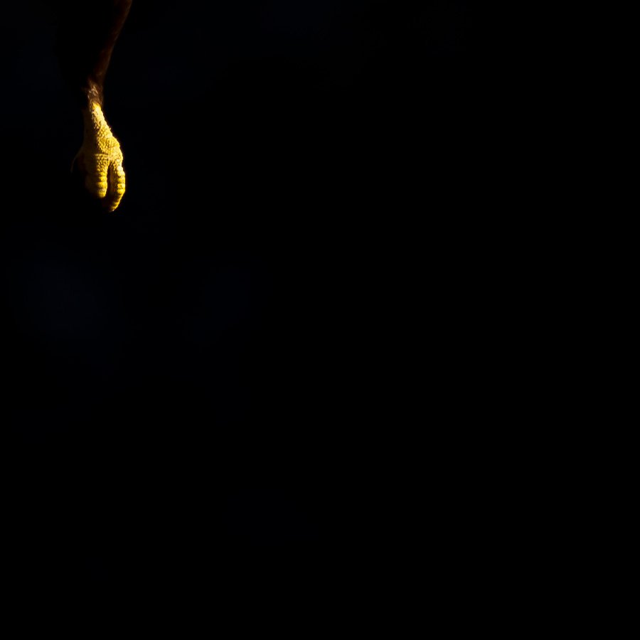 Havørn i svart av Terje Kolaas