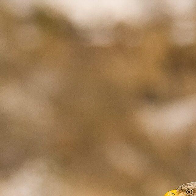 Europas største rovfugl på utkikk etter fisk, fotokunst veggbilde / plakat av Terje Kolaas