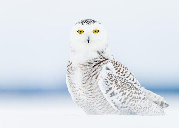 Snøugle på tundraen, fotokunst veggbilde / plakat av Terje Kolaas