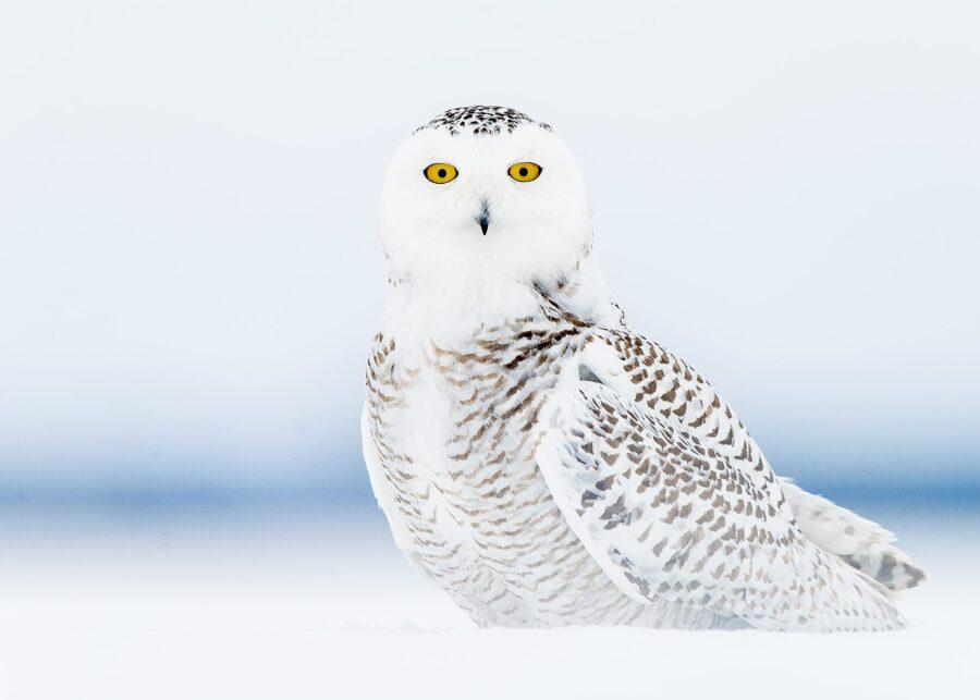 Snøugle på tundraen av Terje Kolaas