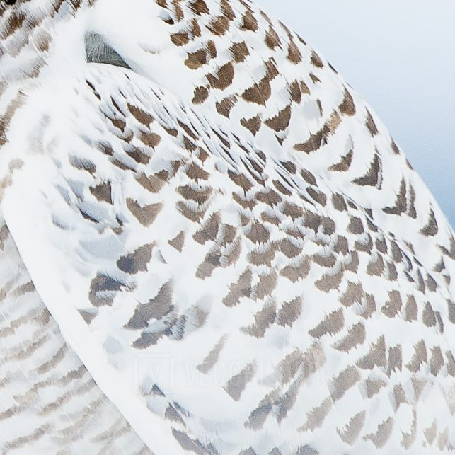 Snøhvit snøugle i snø og mot en blå horisont, fotokunst veggbilde / plakat av Terje Kolaas