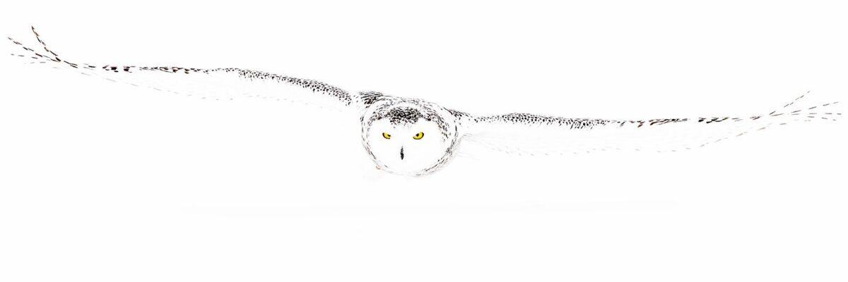 Snøhvit snøugle på jakt, fotokunst veggbilde / plakat av Terje Kolaas