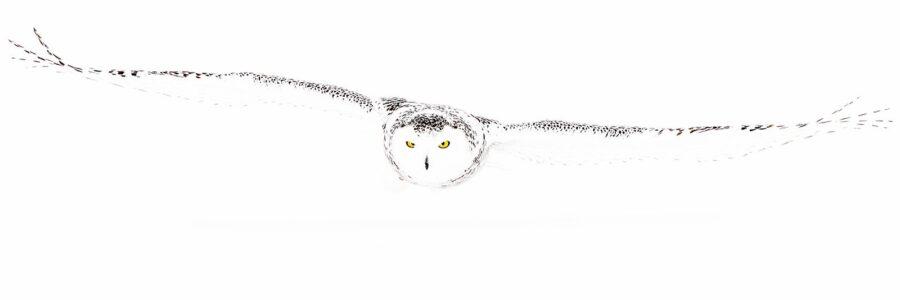 Snøugle på jakt 1 av Terje Kolaas