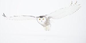 En granmeis i snøen løfter vingene , fotokunst veggbilde / plakat av Terje Kolaas