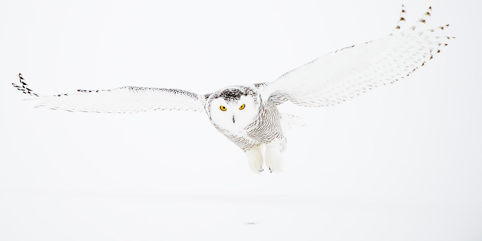 Snøugle på jakt 2 av Terje Kolaas