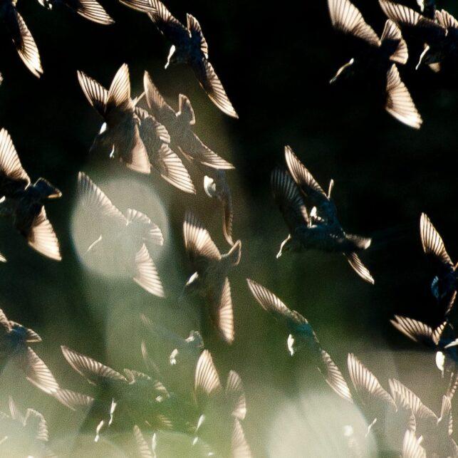 Stærflokk i motlys, fotokunst veggbilde / plakat av Terje Kolaas