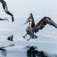 Pelikaner på havet, fotokunst veggbilde / plakat av Terje Kolaas