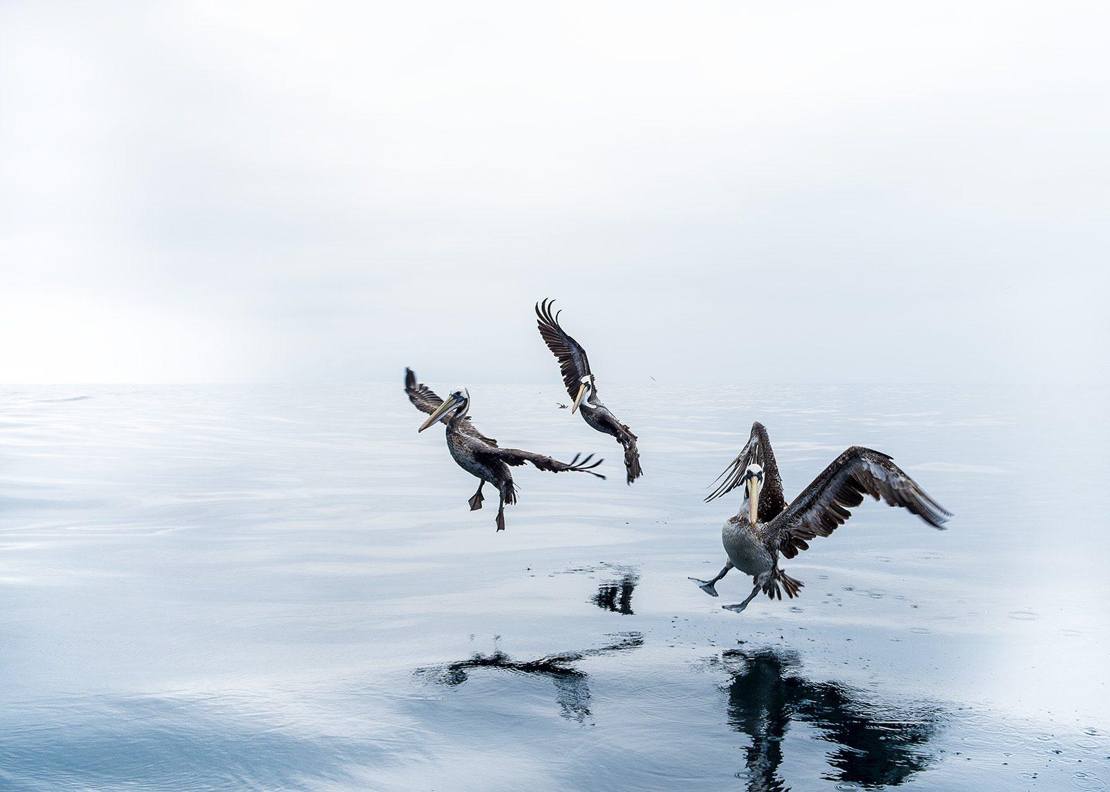 Pelikaner på havet av Terje Kolaas