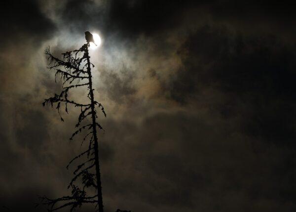 Ei haukugle i silhuett mot en iskald vintermåne, fotokunst veggbilde / plakat av Terje Kolaas
