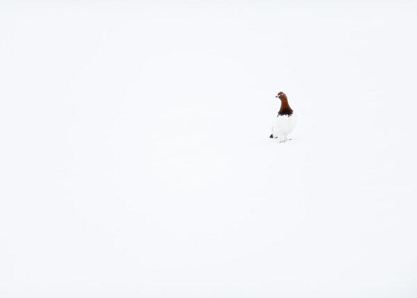 Lirype i snø av Terje Kolaas