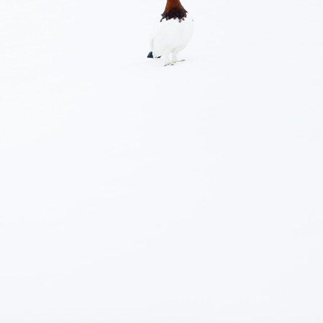 En lirypestegg sitter på kritthvit snø, fotokunst veggbilde / plakat av Terje Kolaas