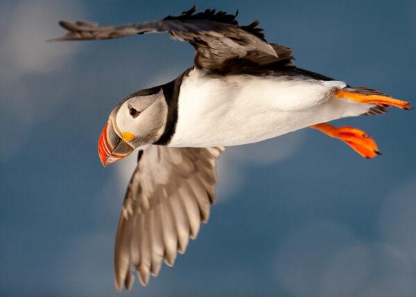 En lunde flyr mot knallblått hav, fotokunst veggbilde / plakat av Terje Kolaas