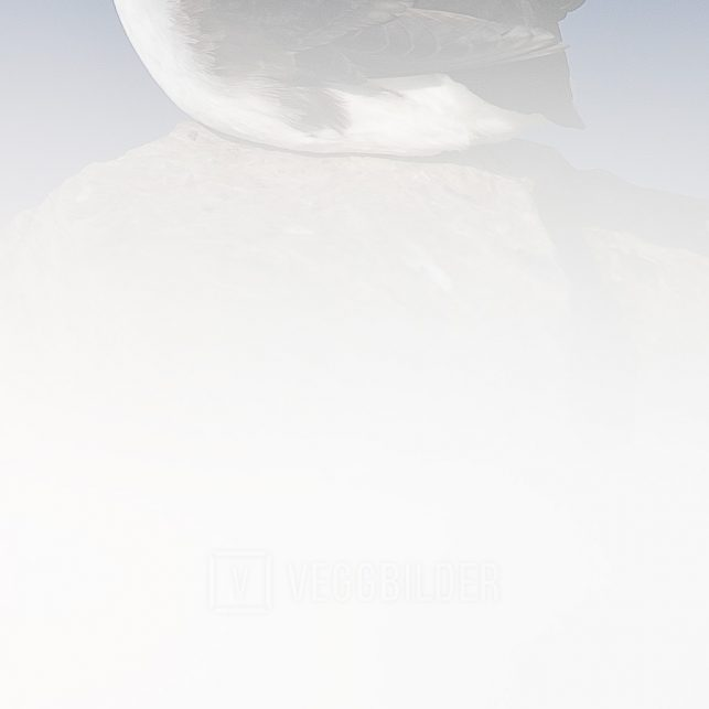 En lunde sitter i snøen med blå himmel som bakgrunn, fotokunst veggbilde / plakat av Terje Kolaas