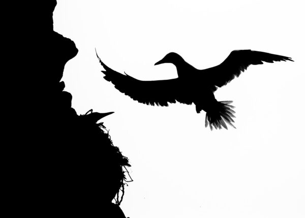 Havsulesilhuett, fotokunst veggbilde / plakat av Terje Kolaas