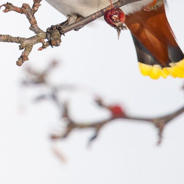 En sidensvans spiser et bær, fotokunst veggbilde / plakat av Terje Kolaas