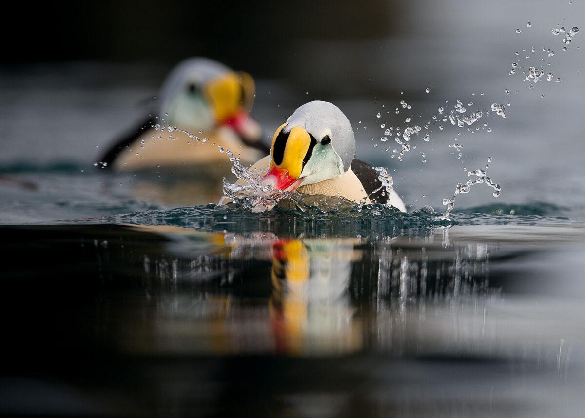 Praktærfugler, fotokunst veggbilde / plakat av Terje Kolaas