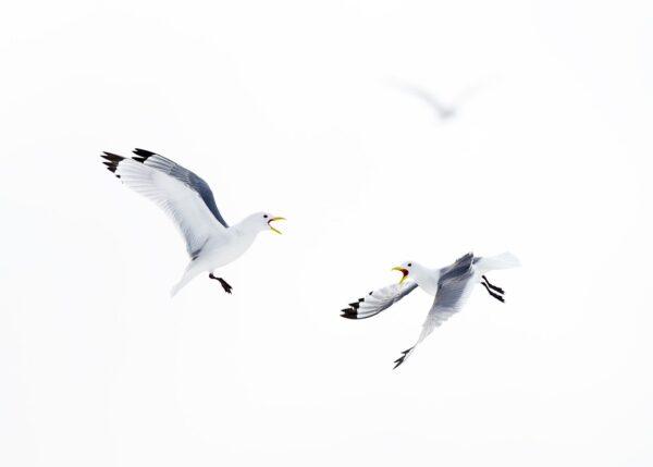 To krykkjer i slåss i luften, fotokunst veggbilde / plakat av Terje Kolaas
