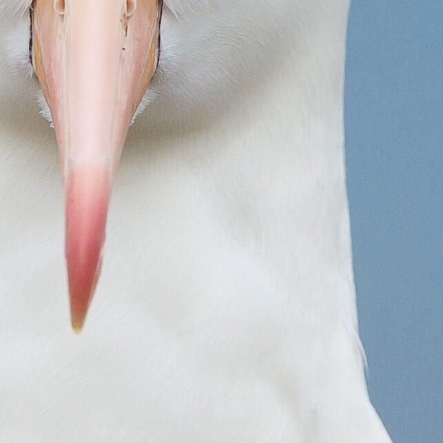 Portrett av svartbrynalbatross, fotokunst veggbilde / plakat av Terje Kolaas