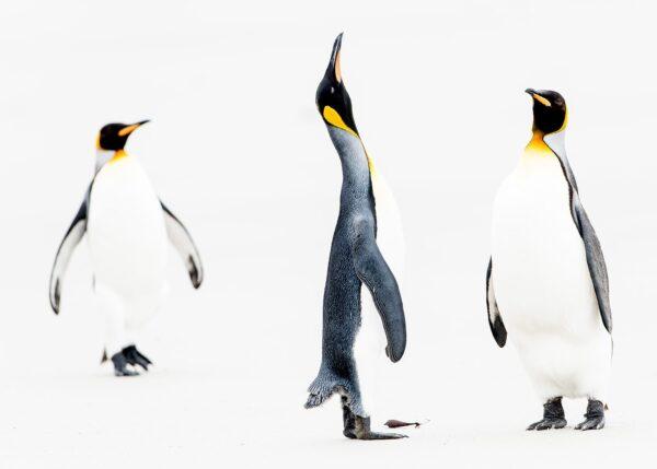 Tre pingviner viser gjensynsglede, fotokunst veggbilde / plakat av Terje Kolaas