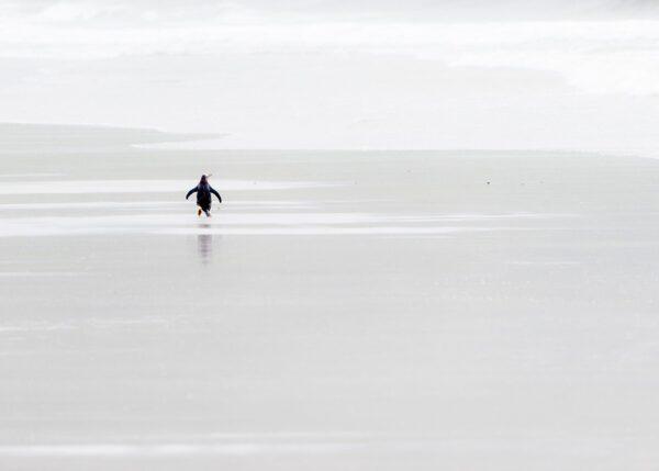 Pingvin på vandring, fotokunst veggbilde / plakat av Terje Kolaas