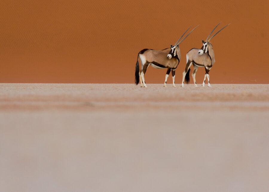 Oryxantiloper i ørken I av Terje Kolaas
