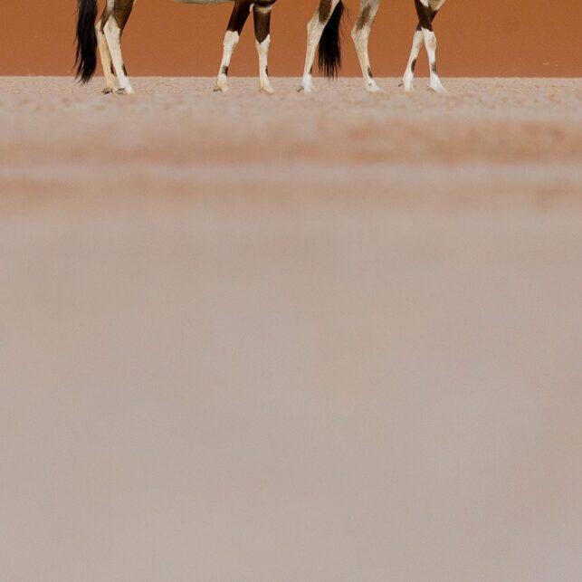 Oryxantiloper i ørken I, fotokunst veggbilde / plakat av Terje Kolaas