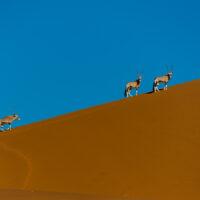 Oryxer i ørkenen av Terje Kolaas