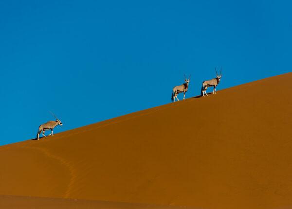 Oryxer i ørkenen, fotokunst veggbilde / plakat av Terje Kolaas