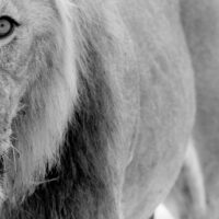 Løve II av Terje Kolaas