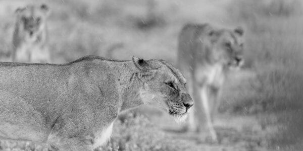 Løver på jakt, fotokunst veggbilde / plakat av Terje Kolaas