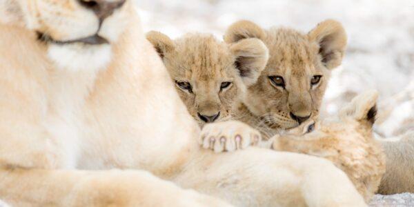 Løvetrillinger, fotokunst veggbilde / plakat av Terje Kolaas