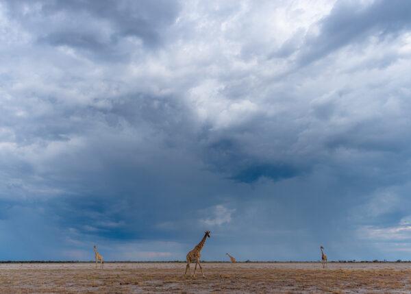 Giraffer i Etosha I, fotokunst veggbilde / plakat av Terje Kolaas