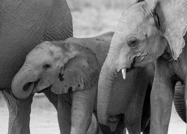 Sosiale elefanter, fotokunst veggbilde / plakat av Terje Kolaas
