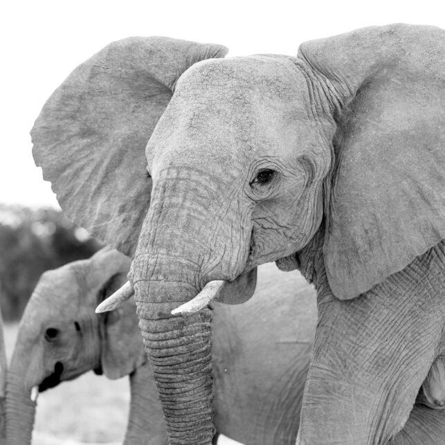 Elefantfamilie av Terje Kolaas